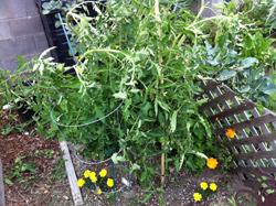 Ann garden tomato plants