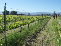 Bernat vineyards