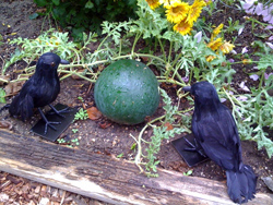 Crow guardians in the garden