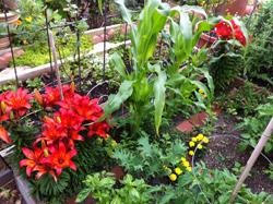 Ann garden May 12 2012 lilies