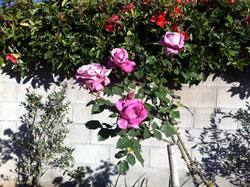 April 2013 roses