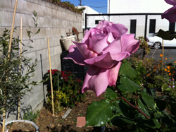 Rose in garden Dec 9